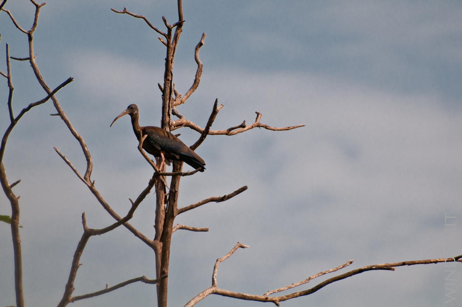 Ibis im Baum