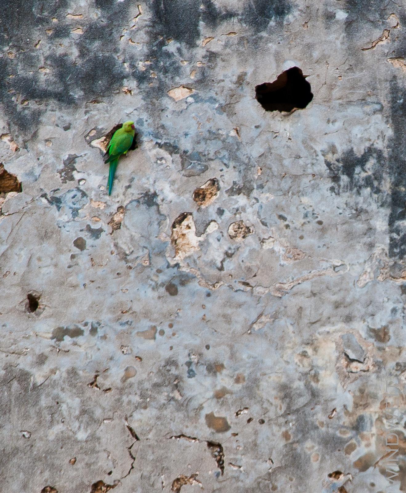 Papageien in der Mauer