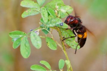 Indische Biene