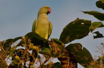 Indischer Papagei